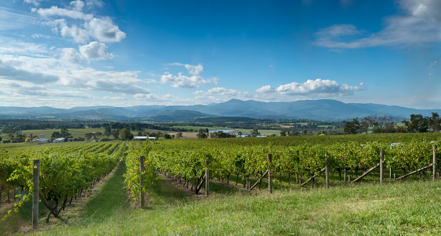 View of vine in the Yarra Valley, near Melbourne, Australia